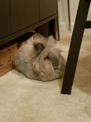 Roy loafing (Pinky Earl) Tags: rabbit bunny buns usagi conejo