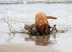 Playtime! (Jaedde & Sis) Tags: play splash dirty challengeyouwinner 15challengeswinner labrador perpetualwinner challengegamewinner sweep gamewinner