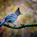 Blue Jay  (Cyanocitta cristata) thumbnail