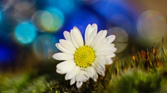 Macro Flower - 4117 (YᗩSᗰIᘉᗴ HᗴᘉS +9 500 000 thx❀) Tags: macro 7dayswithflickr 7dwf daisy pâquerette flower flora supermacro fleur bokeh bokehlicious beyondbokeh nature hensyasmine yasminehens aa be bel