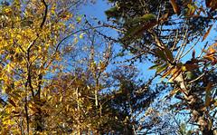 08 (emmess2) Tags: campiglia cinqueterre spezia autumn fall leaves