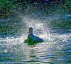 Duck Splash (mylesfox) Tags: duck lake eola splashing