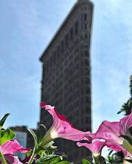Flatiron Building and Pink Flowers, New York City (Biz_Carlton) Tags: pinkflowers architecture newyorkarchitecture nyc newyorkcity newyorklandmarks flatironbuilding