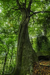 Honley Wood Scotgate Aug 2017 084 (Mark Schofield @ JB Schofield) Tags: trees wood woodland ancient tall old bark trunk branch huddersfield honley woods meltham yorkshire oak leafy leaves