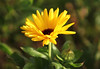 Winter yellow (ekaterina alexander) Tags: winter yellow flower marigold calendula officinalis bud ekaterina alexander england sussex flowers nature photography pictures