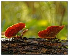 Entends-tu, au fond des bois... (Jean-Marie Lison) Tags: eos80d bruxelles molenbeek scheutbos champignons souche macro