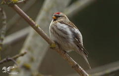 New Species For Me (Common Redpoll) (The Owl Man) Tags: