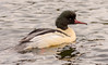 JWL4801  Goosander.. (jefflack Wildlife&Nature) Tags: goosander goosanders birds avian animal animals wildlife wildbirds waterbirds wetlands waterways ducks lakes reservoirs estuaries estuary riverbirds rivers countryside coastalbirds nature ngc npc coth5