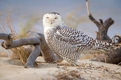 Arctic Visitor... (DTT67) Tags: nature wildlife 2xtciii 1dxmkii canon birdofprey bird arctic owl snowy snowyowl
