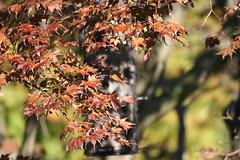 Hiding (eyriel) Tags: tree leaf fallcolor autumn fall nature