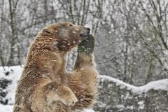 Look Mom, it's snowing....... (K.Verhulst) Tags: polarbears polarbear polar ijsberen ijsbeer beren bears blijdorp diergaardeblijdorp rotterdam todz