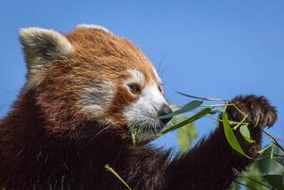 Rød Panda - Red Panda - Ailurus fulgens -  Københavns ZOO - DK-8262