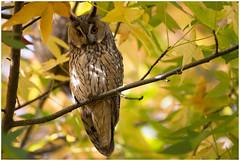 Long-eared Owl - Ransuil (Asio otus) .... (Martha de Jong-Lantink) Tags: 2016 asiootus blaricum buhochico hiboumoyenduc longearedowl ransuil waldohreule