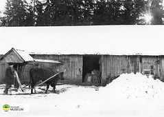 tm_1/Strängshemmet, Acklinga (Tidaholms Museum) Tags: snow snö plow plowing winter farm sweden ox oxe gård vinter stenbbacken härja