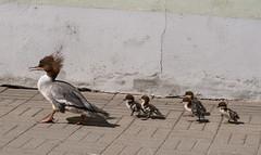 The march of the ducklings (Teelicht) Tags: eesti estland estonia europa europe gänsesäger mergusmerganser tallinn commonmerganser cruise küken chicken