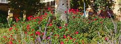 Ancona, Marche, Italy-  Piazza Roma by Gianni Del Bufalo CC BY-NC-SA (bygdb - Gianni Del Bufalo (CC BY-NC-SA)) Tags: anconaancona anconaitaly anconamarche cityscape garden giardino rose fiori flower aiuola green
