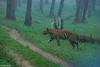 Hazy Tiger (Deepu Cyriac) Tags: nature nilgiribiosphere nagarhole nagarholenp wildlife westernghats travel tiger royalbengaltiger bengaltiger bigcat karnataka indianforest