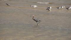 DSC04910 (Matthew283) Tags: bolvar wildlife 11182017 reddish egret