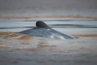 Irrawaddy dolphin (Orcaella brevirostris), Cambodia