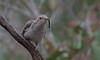 pallid cuckoo (Cacomantis pallidus)-3849 (rawshorty) Tags: rawshorty birds canberra australia act namadgivisitorcentre
