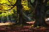 En el hayedo (Carpetovetón) Tags: haya bosque hayas hayedo hayal cerredo montaña nikond200 nikon35mm castro castrourdiales cantabria españa rayosdeluz montaje manipulación