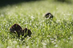 Toadstools in the Grass (haberlea) Tags: garden toadstools grass dew water morning light sunlight green nature mygarden bokeh