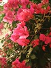 exploring manual in phone finding capabilities of mine clicking photos of these beautiful winter flowers Shot by redmi 4x (sky9it) Tags: mobilephotography photography stillphotography photooftheday photographerlife photographylover naturephotography naturalcolors nature pinkflowers pink pinkcolor stilllife beauty beautiful beautifulcolors indian