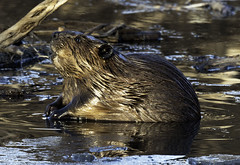North American beaver (quadling101) Tags: beaver
