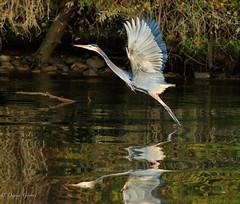 Lift-off (dngovoni) Tags: virginia action autumn bird fall flight greatblueheron heron jamesriver sunrise water wildlife richmond unitedstates us