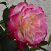 San Francisco, CA, Noe Valley, Pink Rose (Mary Warren 9.6+ Million Views) Tags: sanfranciscoca noevalley nature flora plant pink bloom blossom flower macro rose