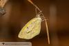 Barred Yellow - Hodges#4243 (Eurema daira) 20171023_3659.jpg (Abbott Nature Photography) Tags: neoptera organismseukaryotes pieridaesulphurswhites butterfly endopterygota pterygota animals insectainsects arthropodaarthropods hexapoda invertebratainvertebrates lepidopterabutterfliesmoths papilionoidea gordo alabama unitedstates us