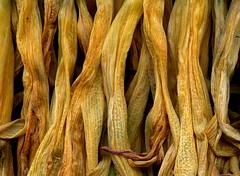 58622.27 Hemerocallis (horticultural art) Tags: horticulturalart hemerocallis daylily flowers goneby