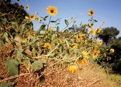 Sunflower (Anita363) Tags: commonsunflower annualsunflower kansassunflower helianthusannuus helianthus sunflower yellow manypetals native flora wildflower flower asteraceae film scanned