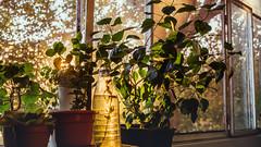 09.10.2017 (Fregoli Cotard) Tags: plants floral herbal herbology pretty prettylight goldenlight sunset balcony romania lifeofavideoeditor editor dailyjournal dailyphotography dailyproject dailyphoto dailyphotograph dailychallenge everyday everydayphoto everydayphotography everydayjournal aphotoeveryday 365everyday 365daily 365 365dailyproject 365dailyphoto 365dailyphotography 365project 365photoproject 365photography 365photos 365photochallenge 365challenge photodiary photojournal photographicaljournal visualjournal visualdiary 282365 282of365