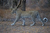 Leopard (Mike/Claire) Tags: leopard 2016 southafrica tandatula timbavati