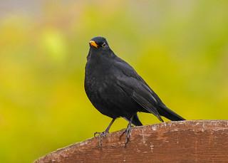 blackbird on a gate