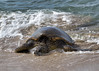 Emergent (Matthew P Sharp) Tags: turtle seaturtle wildlife hawaii lahaina 80d canon80d canoneos80d