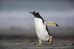 I am back! (Chantal Jacques Photography) Tags: gentoopenguin falklandislands wildandfree depthoffield bokeh