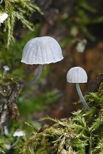 Sinikaarnahiippo - Mycena pseudocorticola - Fairy helmet bonnet