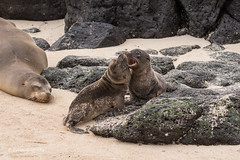 Sea Lion pups at play 500_3119.jpg (Mobile Lynn) Tags: sealion wild marinemammals galapagossealion nature fauna mammal mammals otariidae wildlife zalophuswollebaeki santafeisland galapagosislands ecuador ec