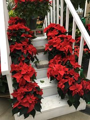 336/365: Stairway of Poinsettias