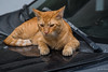 2017 - Mexico - Manzanillo - Puss Paws (Ted's photos - For Me & You) Tags: 2017 cropped mexico nikon nikond750 nikonfx tedmcgrath tedsphotos tedsphotosmexico vignetting cat gato kitty puss paws carhood reflection whiskers catswhiskers tail orangecat