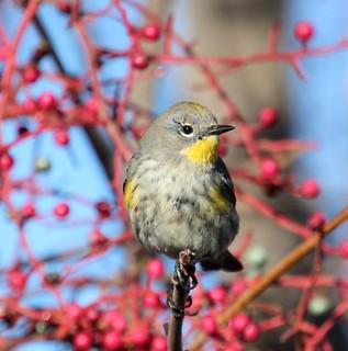 Winter feeding,  Roseville , CA (EXPLORED)