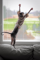 Wohoo! (Uniquva) Tags: cat sphynx window shirt spread limbs