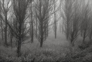 Trees in Fog, Washington