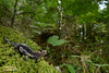 Aurora's Alpine Salamander (Nicola Destefano) Tags: aurorasalpinesalamander salamandraatraaurorae salamandradiaurora wildlife environment endemicspecies endemism animal amphibian caudata urodela oneanimal nobody fulllength sideview wideangle vu vulnerable iucnredlist italy alps italianalps forest