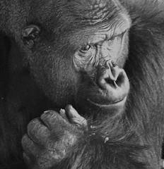 Western Lowland Gorilla (Gorilla gorilla gorilla) (ACEZandEIGHTZ) Tags: ape mammal portrait simian gorilla nikon d3200 miami zoo zoomiami metrozoo dadecounty lowland western coth5 bw blackandwhite monochrome