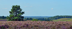 Rockford Common, Hampshire, England (Oswald Bertram) Tags: heather heath erica newforest pink colourful colorful summer lanscape scenery outdoors outside hiking holiday purple paisaje paysage landschaft