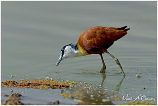 The Colourful Jacana!