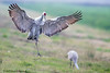Dancing Crane - EO1V892 (arvind agrawal) Tags: sandhillcrane crane dancing lodi ca